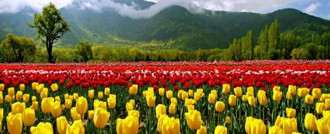 tulip_garden Srinagar